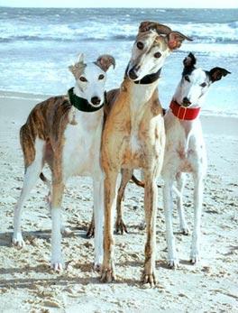 adopt_a_greyhound